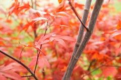 Acer palmatum dell'acero giapponese Fotografia Stock