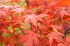 Acer palmatum dell'acero giapponese Immagini Stock