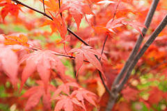 Acer palmatum dell'acero giapponese Fotografia Stock Libera da Diritti
