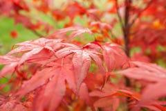 Acer palmatum dell'acero giapponese Fotografie Stock Libere da Diritti