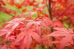 Acer palmatum dell'acero giapponese Fotografie Stock