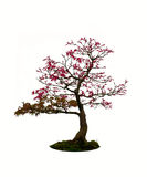 Acer palmatum deshojo bonsai tree Royalty Free Stock Images