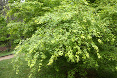Acer palmatum Stock Photography