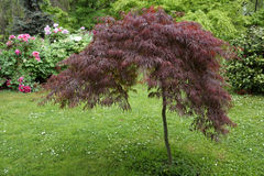 Acer palmatum Royalty Free Stock Photo