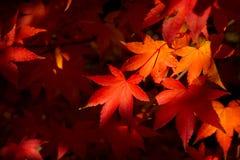 Acer palmatum di caduta fotografia stock libera da diritti
