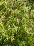 Acer-palmatum dissectum Stockbild