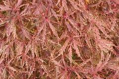 Acer palmatum dissectum Royalty Free Stock Images