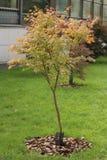Acer-palmatum (glatter japanischer Ahorn) Lizenzfreie Stockfotografie