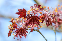 Acer palmatum, Japanese maple Stock Photo