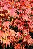 Acer-palmatum (japanischer Ahorn) Stockfotos