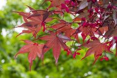 Acer palmatum, japansk lönn, slät japansk lönn Arkivbilder