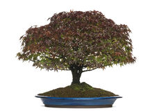 Acer palmatum Kiyohime bonsai tree, isolated Stock Images