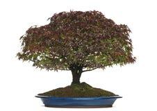 Acer-palmatum Kiyohime-Bonsaibaum, lokalisiert Stockbilder