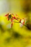Acer-palmatum kleines Blatt Lizenzfreies Stockbild