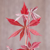 Acer palmatum leaf Royalty Free Stock Photography