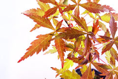 Acer palmatum leaves Stock Photography