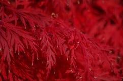 Acer palmatum liście Obraz Royalty Free