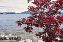 Acer-palmatum mit rotem Laub Lizenzfreie Stockbilder