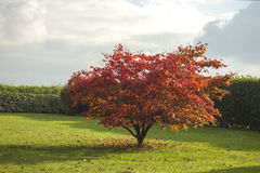 Acer-palmatum oder japanischer Ahorn Stockfotografie