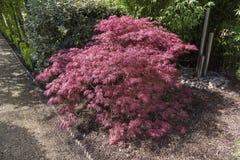 Acer-palmatum oder Strauch des japanischen Ahorns, der ein oramental Gard wächst Lizenzfreie Stockbilder