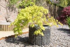 Acer-palmatum oder Strauch des japanischen Ahorns, der herein in einem Behälter wächst Lizenzfreies Stockfoto