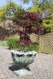 Acer-palmatum oder Strauch des japanischen Ahorns, der herein in einem Behälter wächst Stockbild