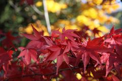 Acer palmatum ` Osakazuki `鸡爪枫在与山毛榉的秋天忘记 库存照片