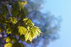 Acer-palmatum palmate Ahorn, japanischer Ahorn, stockfoto