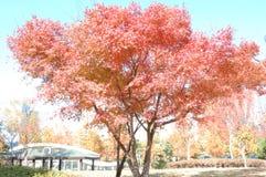 Acer-palmatum palmate esdoorn, Japanse esdoorn, vlotte Japans-Doctorandus in de letteren stock fotografie