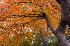 Acer palmatum Stock Image