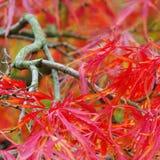 Acer palmatum Stock Images