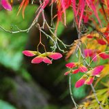 Acer palmatum Royalty Free Stock Photos