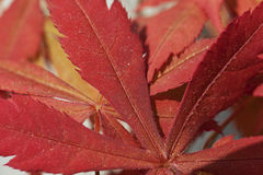 Acer palmatum Stock Photography
