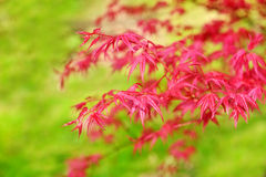 Acer palmatum red leaves Royalty Free Stock Photography