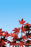 Acer palmatum, Red Maple -  with clipping path Stock Photo