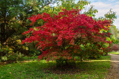 Acer Palmatum Tree. Acer is a genus of trees or shrubs commonly known as maple. Maples are variously classified in a family of their own, the Aceraceae, or stock photos