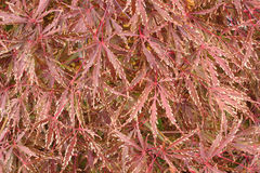 Acer palmatumdissectum Royaltyfria Bilder