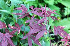 Acer plant Royalty Free Stock Photos