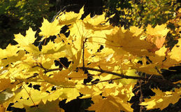 Acer platanoides叶子  库存图片
