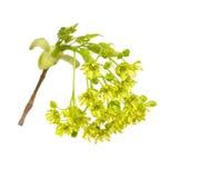 Acer platanoides Stockbilder