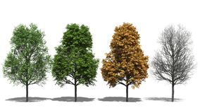 Acer platanoides (Four Seasons) Στοκ φωτογραφία με δικαίωμα ελεύθερης χρήσης