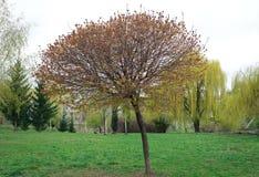 Acer-platanoides ` Globosum-` Stockbilder