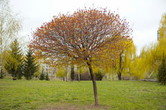 Acer-platanoides ` Globosum-` Lizenzfreies Stockbild