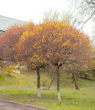 Acer-platanoides ` Globosum-` Stockfotos