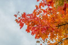 Acer platanoides leaf in autumn colour. Acer platanoides leaf in autumn colour with cloudly sky Royalty Free Stock Photo