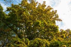 Acer-platanoides leafage und Samaras im Herbst Lizenzfreies Stockfoto