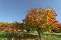 Acer-platanoides, Norwegen-Ahorn im Herbst, Hagen, Niedersachsen, Deutschland Stockbild