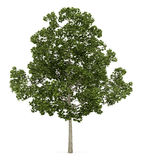 Acer platanoides tree isolated on white Stock Photography