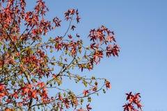 Acer-platanum Baum im autum Lizenzfreies Stockbild
