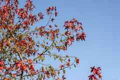Acer platanum tree in autum Royalty Free Stock Image